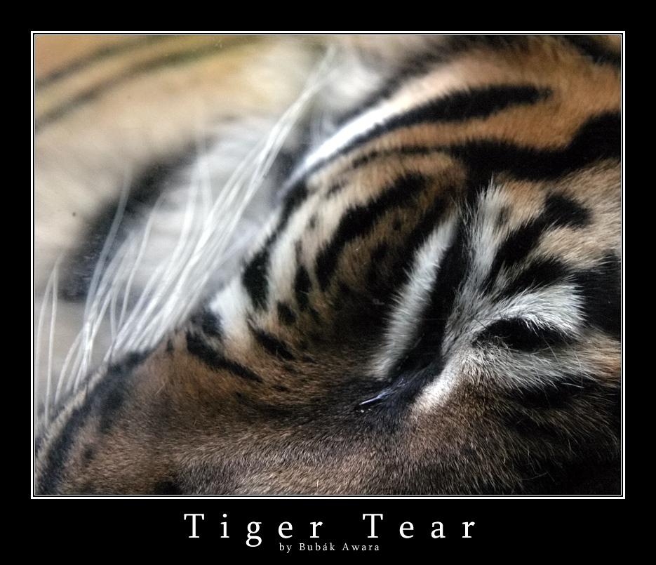 Tiger Tear by bubak