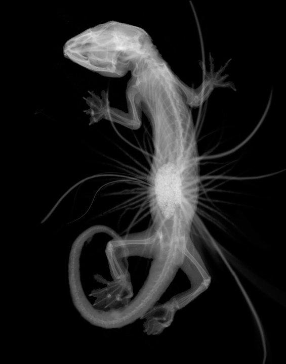 Tokay X-Ray by sapphiresky1410