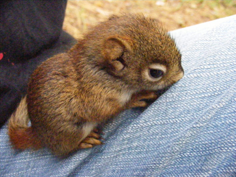 Chipmunk_baby__3_by_RedCloudWater.jpg