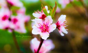 cvijet kajsije by Inguan