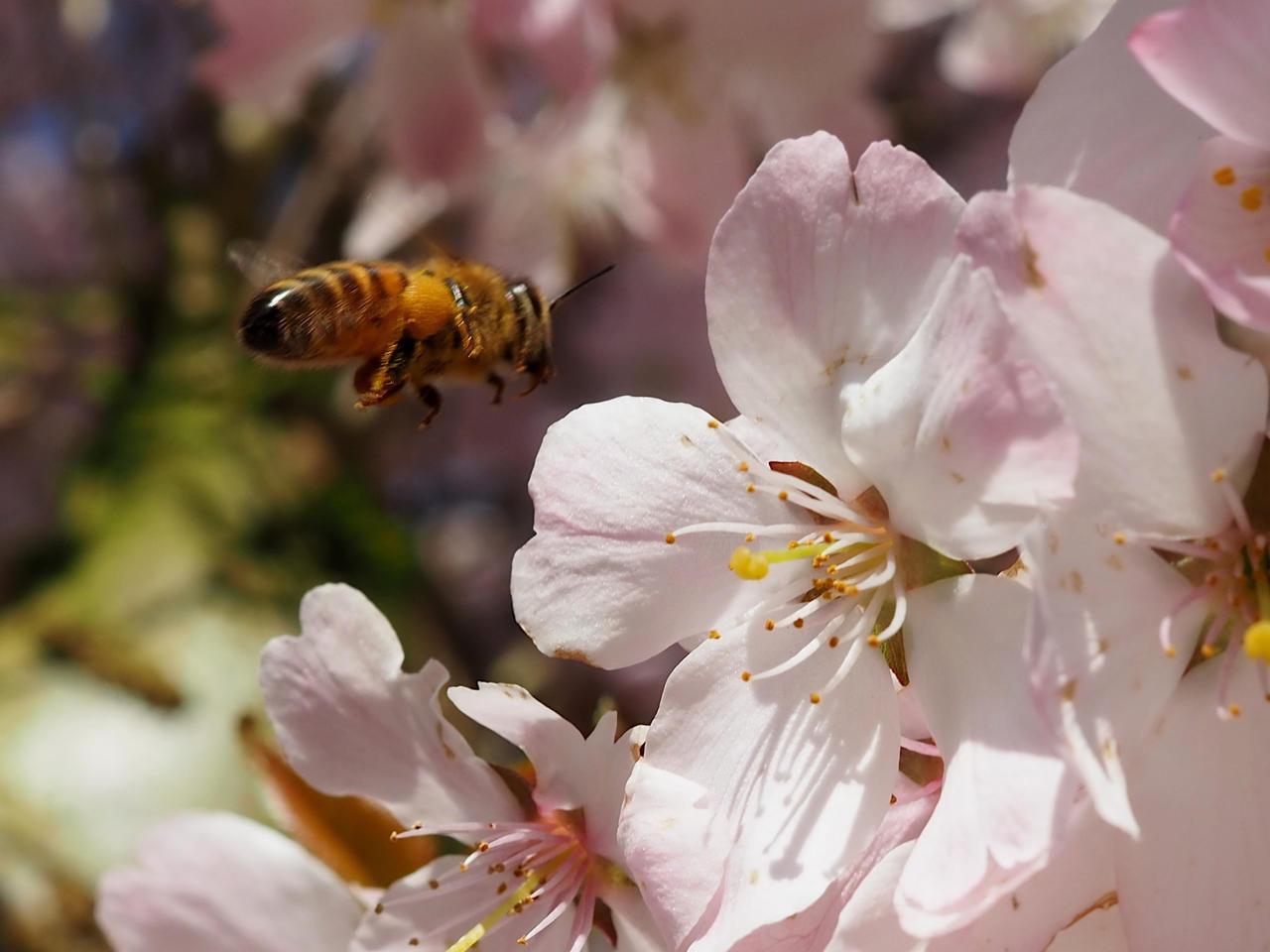 A bee in flight