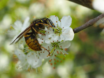 Wasp on blackthorn