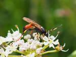 British Ichneumon wasp