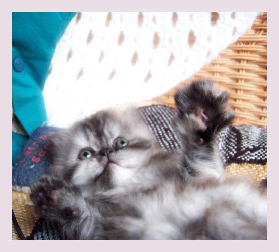 Persian kitten VII by LanimilbuSx