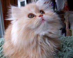 Persian kitten VIII