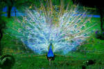 Electric Peacock