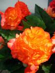 Flaming Begonia by Narkya