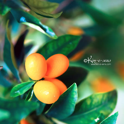 kumquat story by kim-e-sens