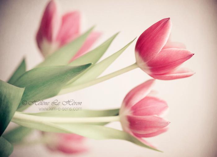 tulipe de soie by kim-e-sens