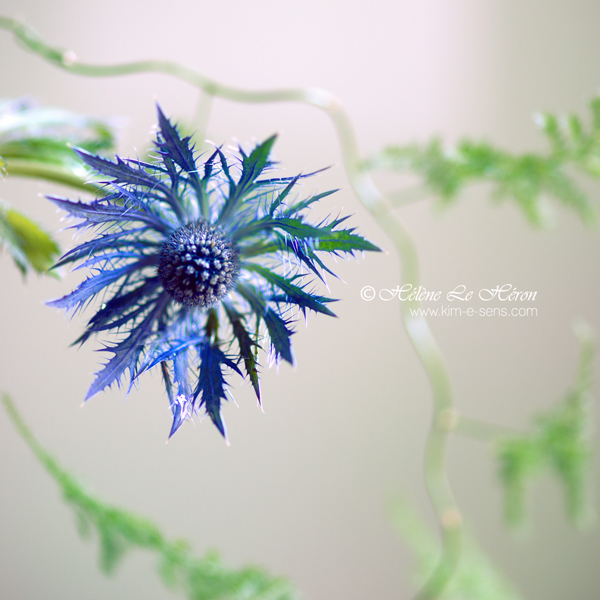 le chardon bleu by kim-e-sens