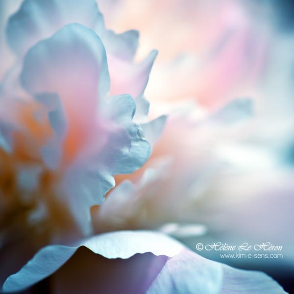 petal subtlety by kim-e-sens
