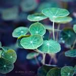 Le vert des Capucines