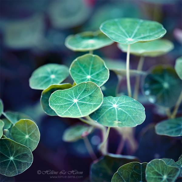 Le vert des Capucines by kim-e-sens