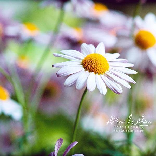 Dizzy Daisies by kim-e-sens
