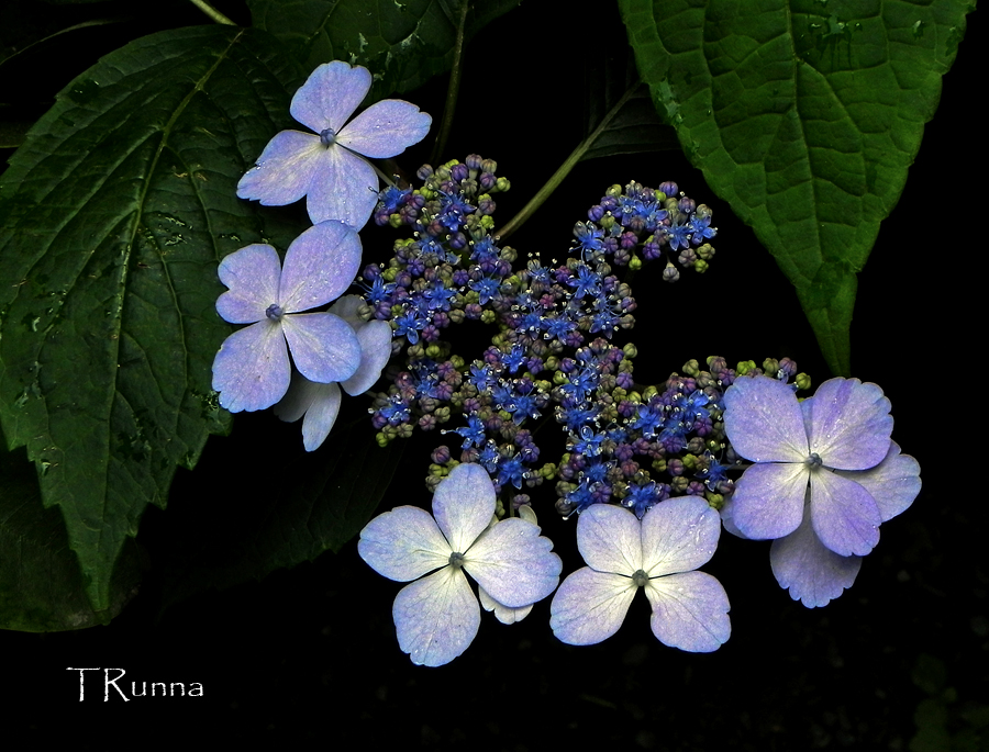 Hydrangea ~ First Bloom  by TRunna