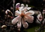 Magnolia Stellata by TRunna