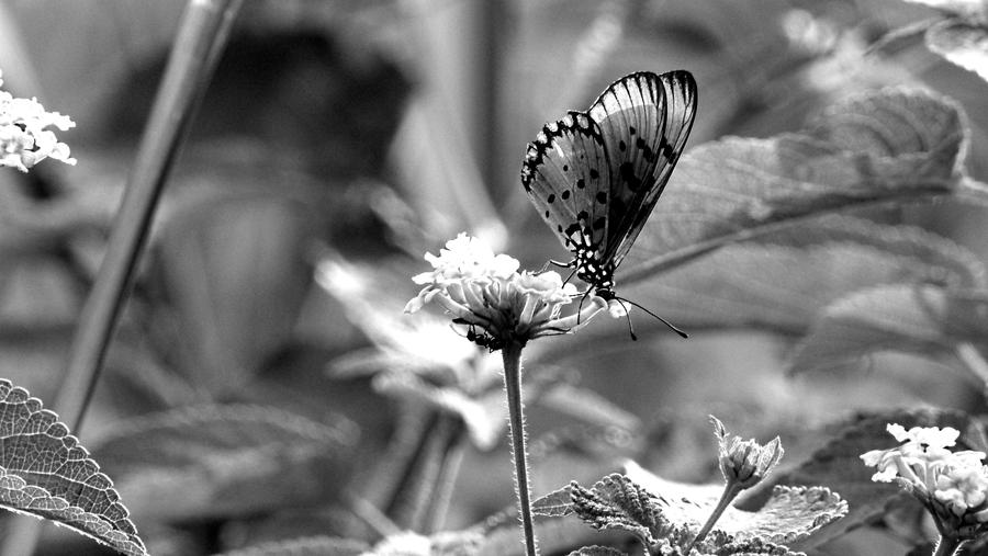 Black and  Butterfly by RayyanCR