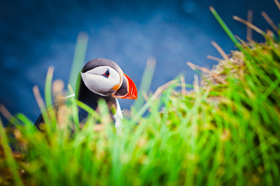 Atlantic Puffin by JasperGrom
