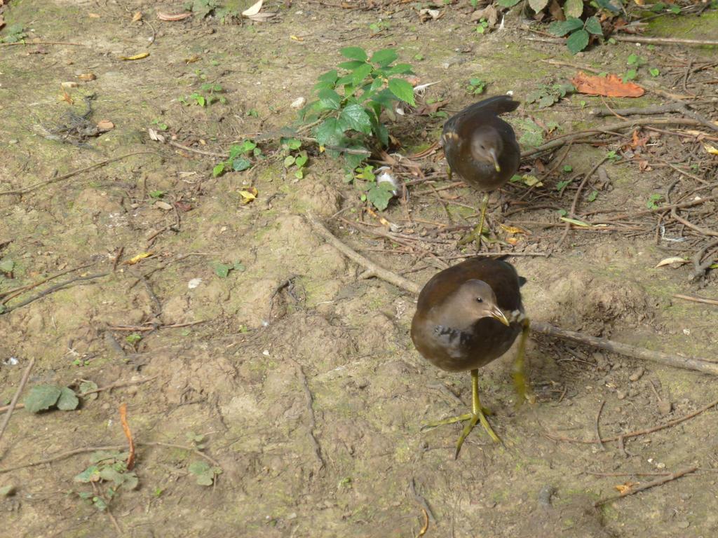 Female Moorhens by photodash