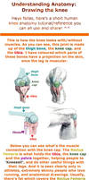 Understanding Anatomy: The Knee