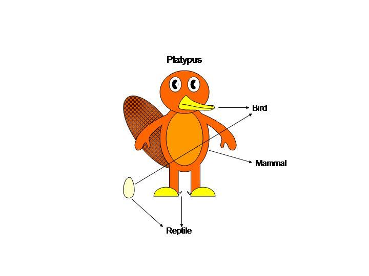 Platypus Anatomy by platypus12 on DeviantArt