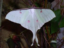 Actias sinensis, female by J-Y-M