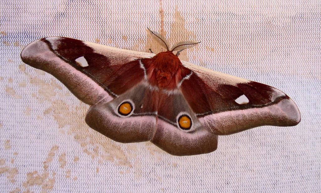 Bunaea alcinoe, male by J-Y-M