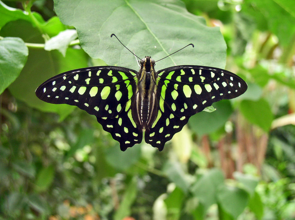 Graphium agamemnon by J-Y-M