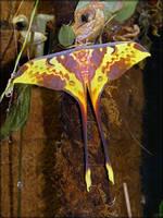 Actias maenas, adult male - 2 by J-Y-M