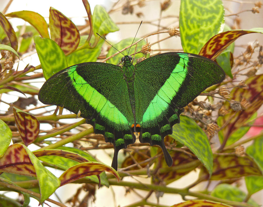 Tropical butterflies calendar by J-Y-M