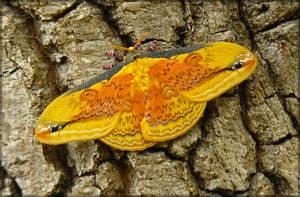 Loepa oberthuri, male by J-Y-M
