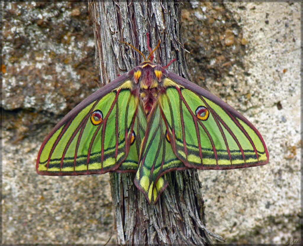 Classe: Insecta, uma mariposa da espécie 'Graellsia isabellae'.