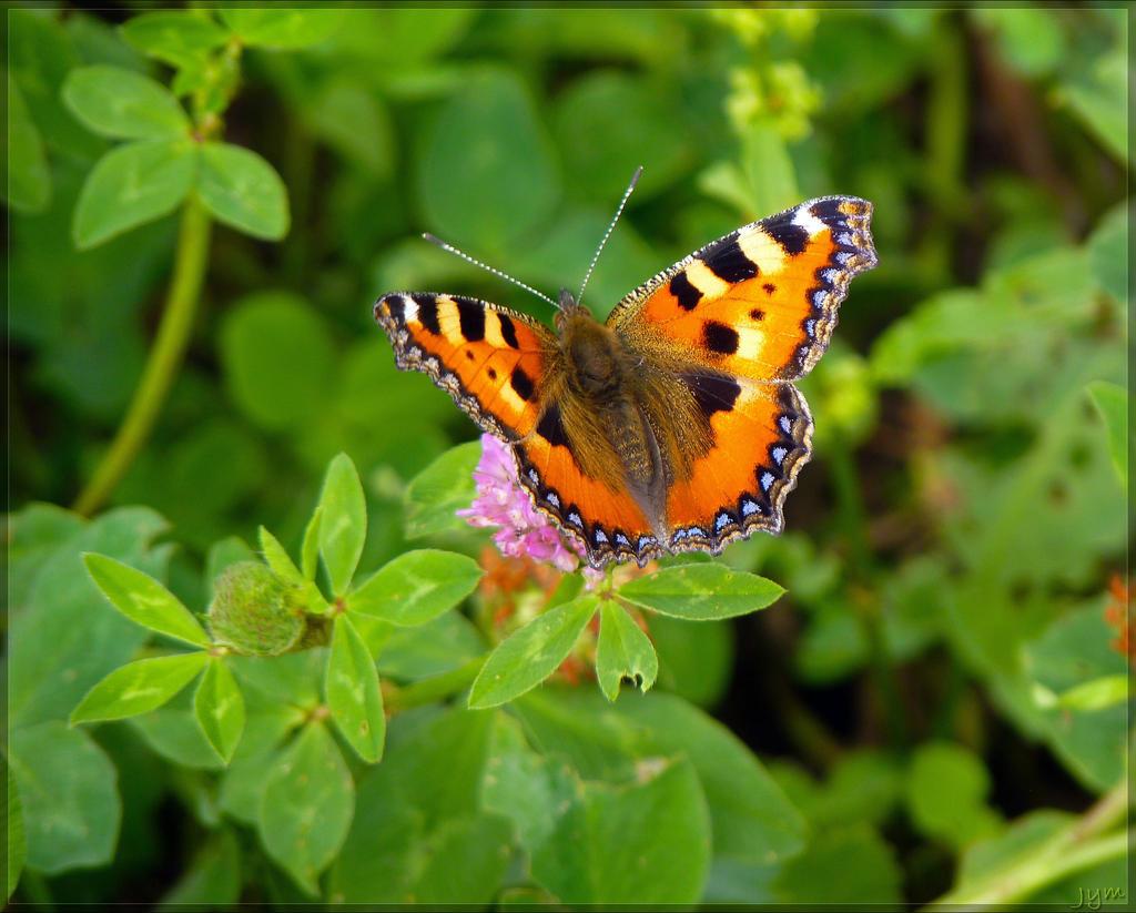 Déclin des papillons en europe Aglais_urticae___3_by_j_y_m-d6fzyuc