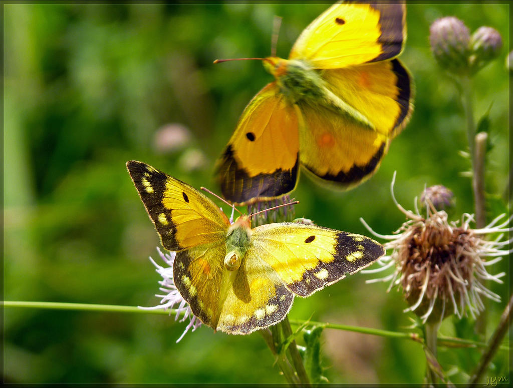 Déclin des papillons en europe Colias_croceus___2_by_j_y_m-d6fzzzn