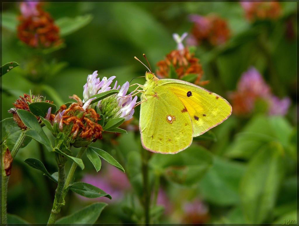 Déclin des papillons en europe Colias_croceus___4_by_j_y_m-d6g00a9