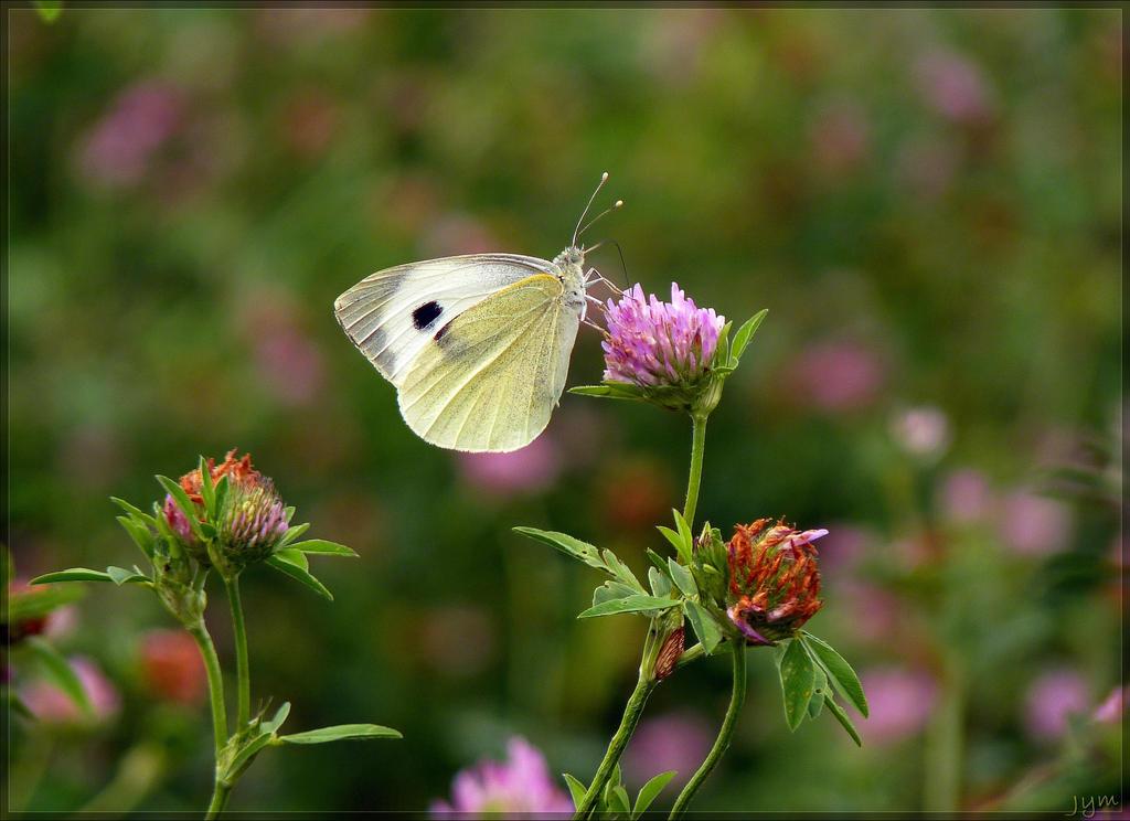 Déclin des papillons en europe Pieris_brassicae___4_by_j_y_m-d6g00wh