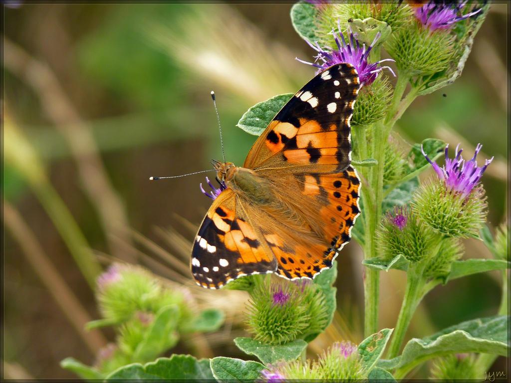 Déclin des papillons en europe Vanessa_cardui___8_by_j_y_m-d6g02e5