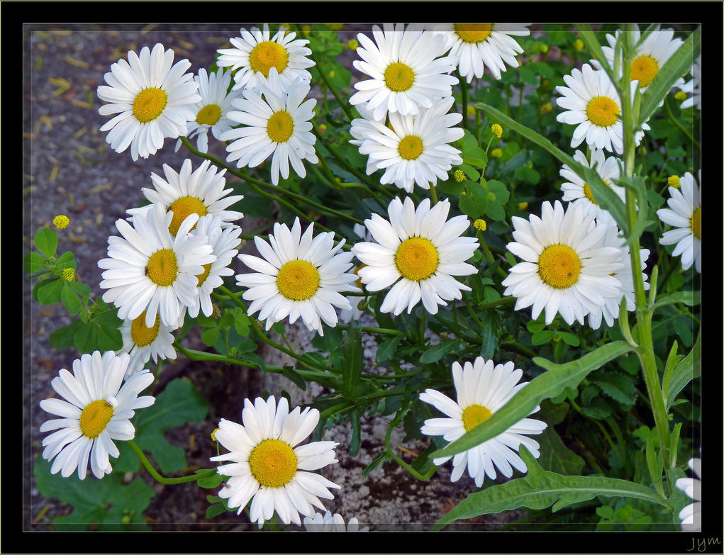 Marguerites - 2 by J-Y-M