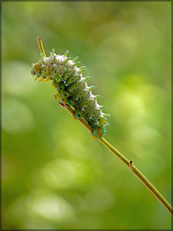 Samia cynthia caterpillar - 1 by J-Y-M