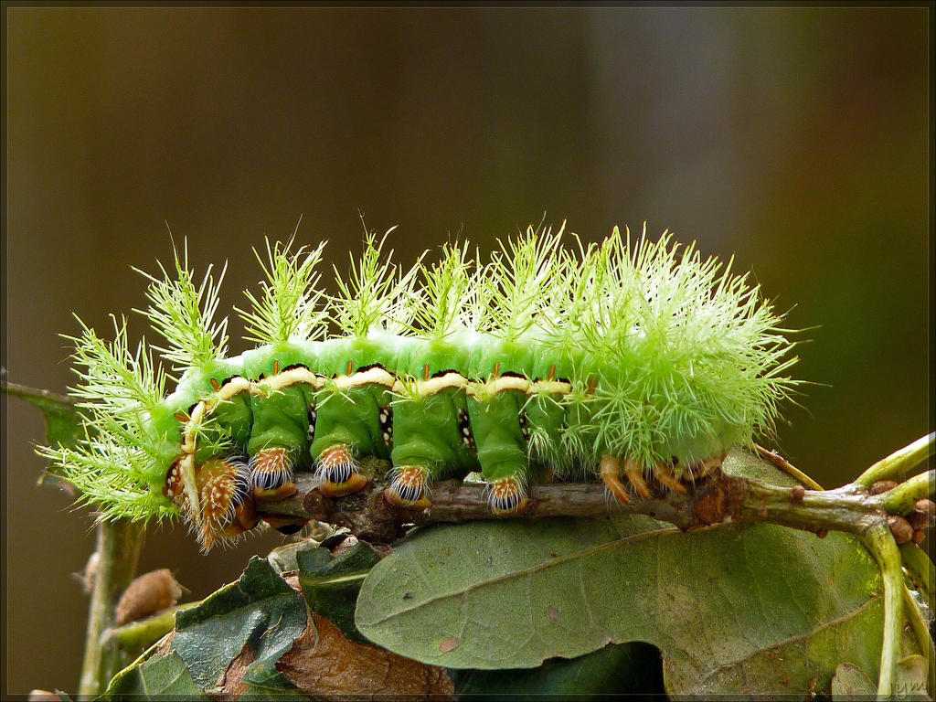 Automeris randa caterpillar - 1 by J-Y-M