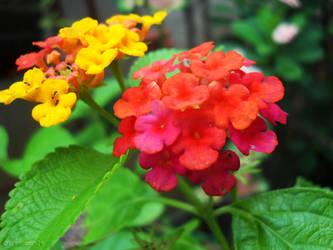 428874d6 Lantana Camara (Utot-utot Flower) by dreamarzh24