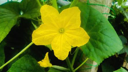 Cucumber Flower Misko 2083 by Misko-2083