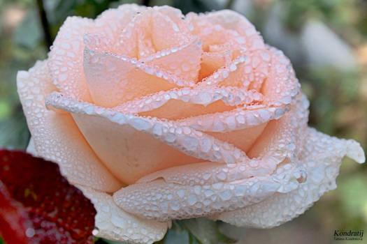 Tear of rose.