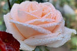 Tear of rose. by Kondratij
