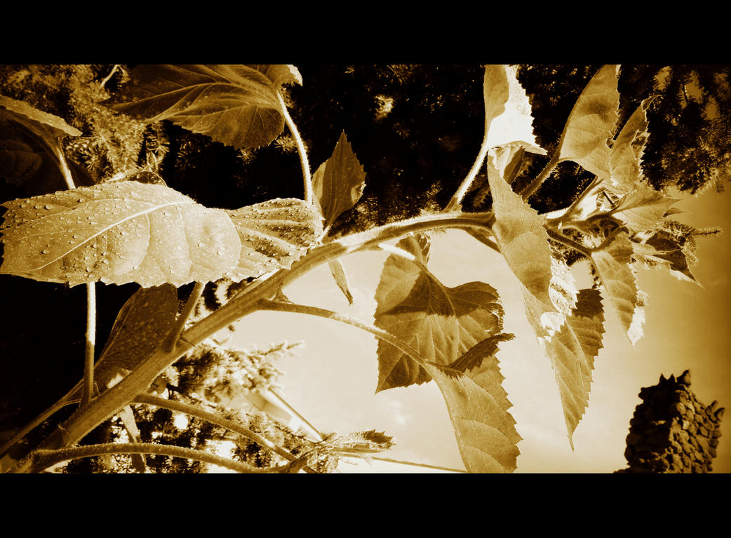 sunflower by crimsonravenwarrior