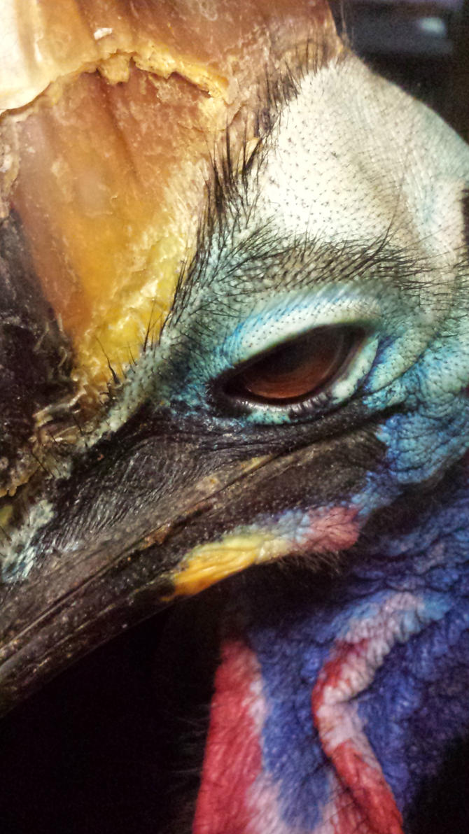 Cassowary by Distorted-Colours