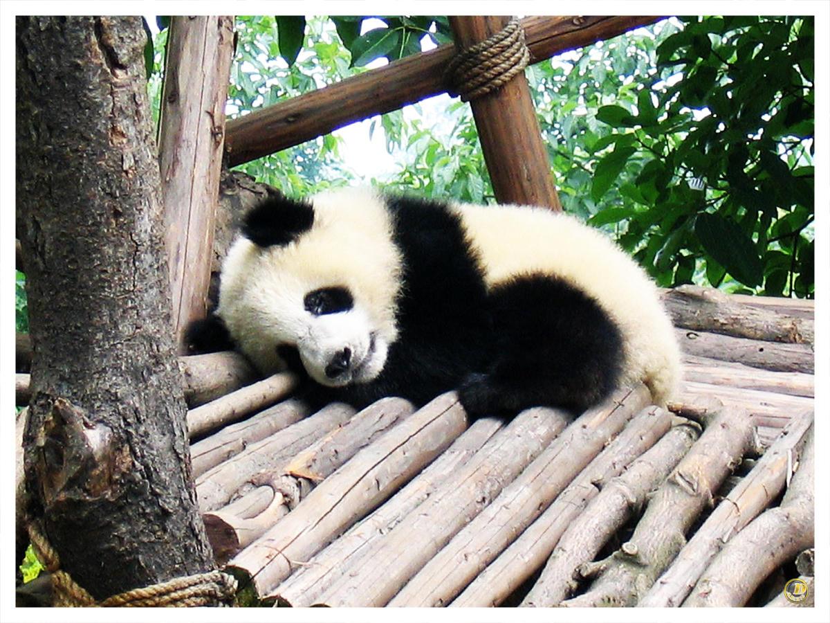 baby panda by dektan on DeviantArt
