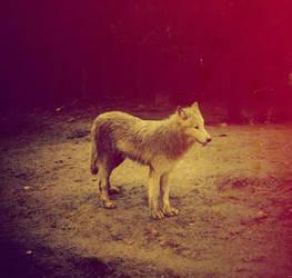 Hey mama wolf