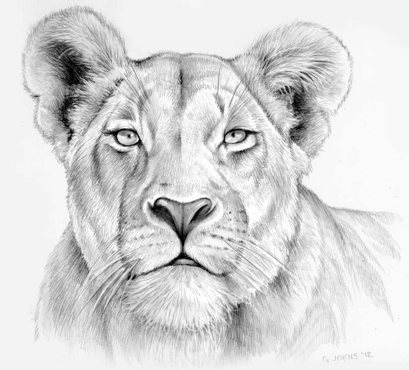 Lioness in pencil by