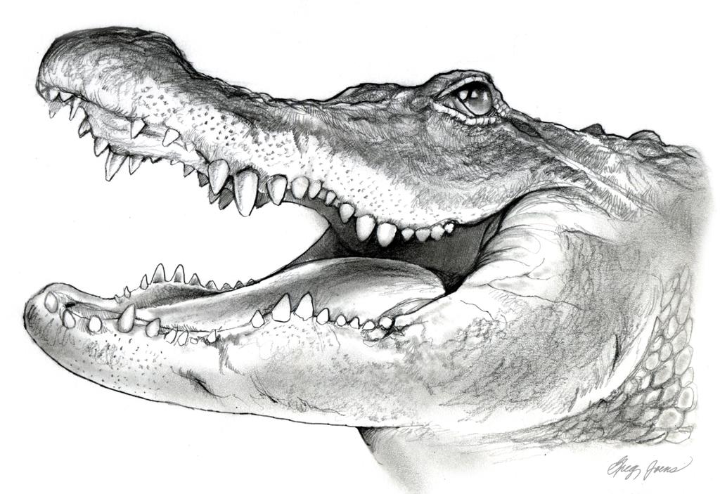 American Alligator Pencil Sketch By Gregchapin On Deviantart